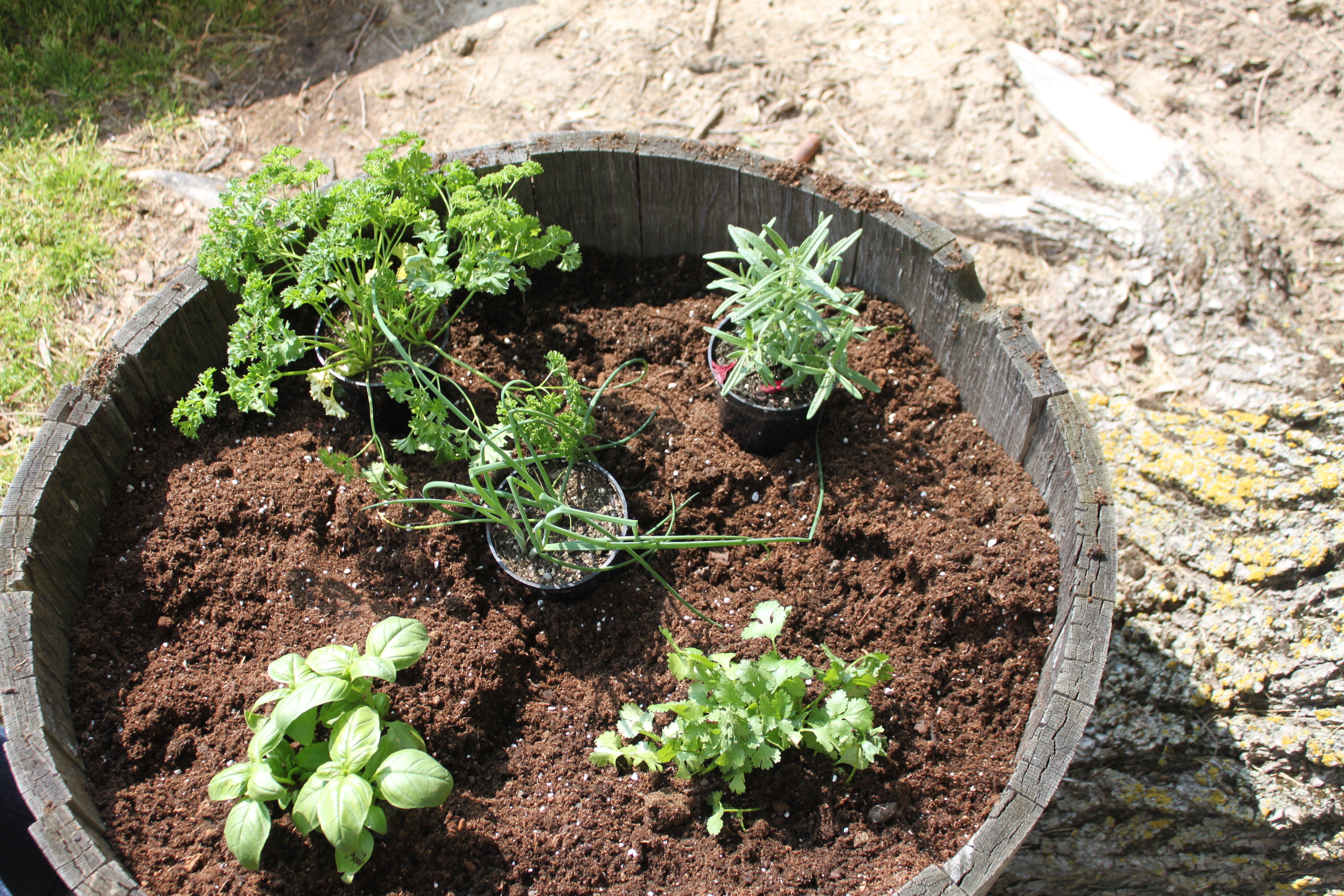 How To Make Herb Garden With Whiskey Barrel