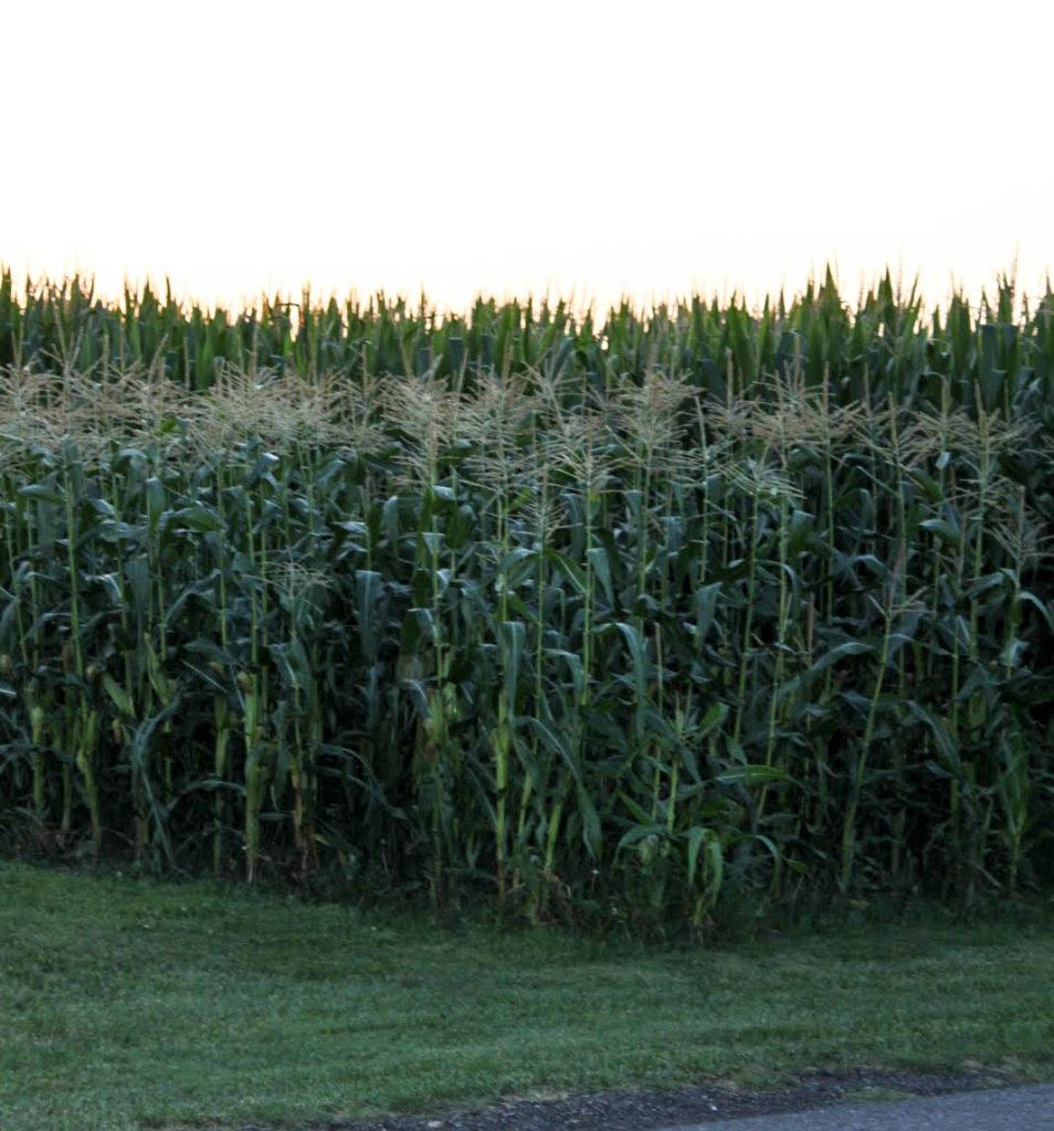 Field corn and sweet corn