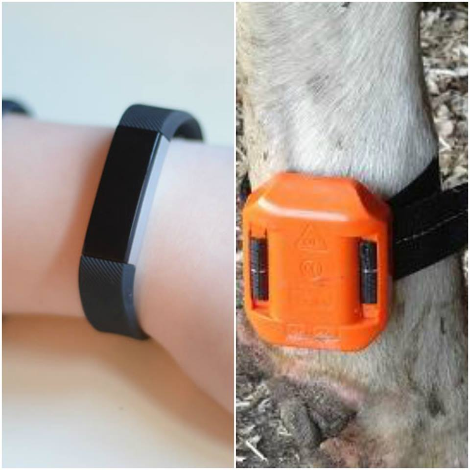 Cow pedometers